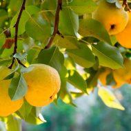 Айва японская: плоды как использовать?