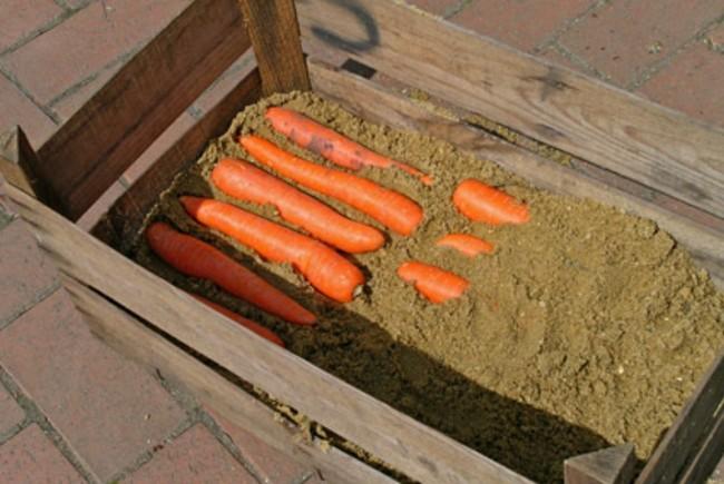 Хранение моркови в подвале