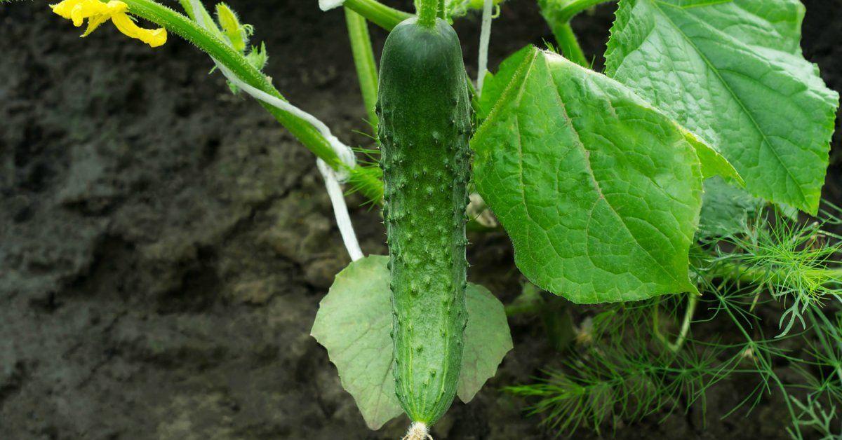 Как вырастить рассаду огурцов в домашних условиях пошаговая инструкция