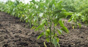 Как вырастить рассаду перца в домашних условиях пошаговая инструкция