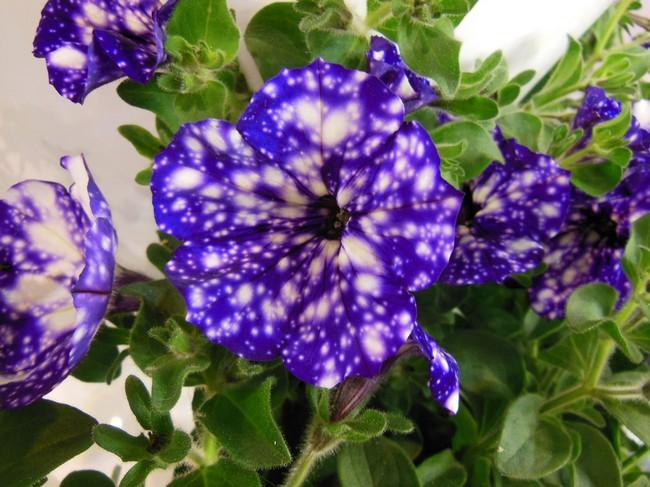 Как вырастить рассаду петунии из семян в домашних условиях