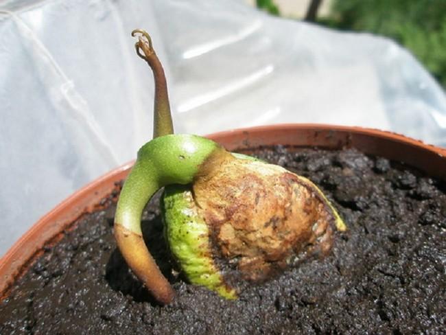 Как посадить косточку манго в домашних условиях