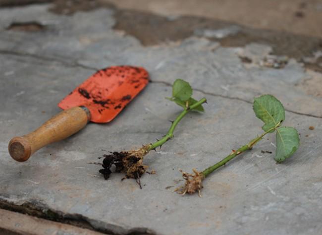 Как посадить розу черенком из букета