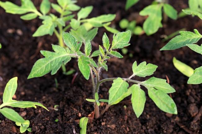 Когда можно сеять помидоры на рассаду в 2019 году по лунному календарю