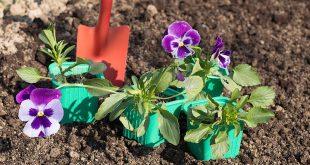 Когда сеять виолу на рассаду чтобы получить цветущие кустики в мае