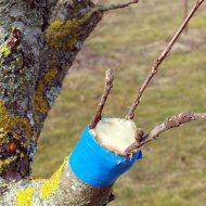 Прививка деревьев весной: сроки, время прививки