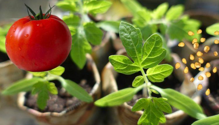 Как сажать семена помидор на рассаду в домашних условиях