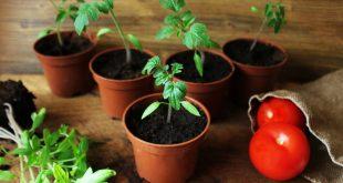 На какую глубину сажать семена помидор на рассаду в домашних условиях