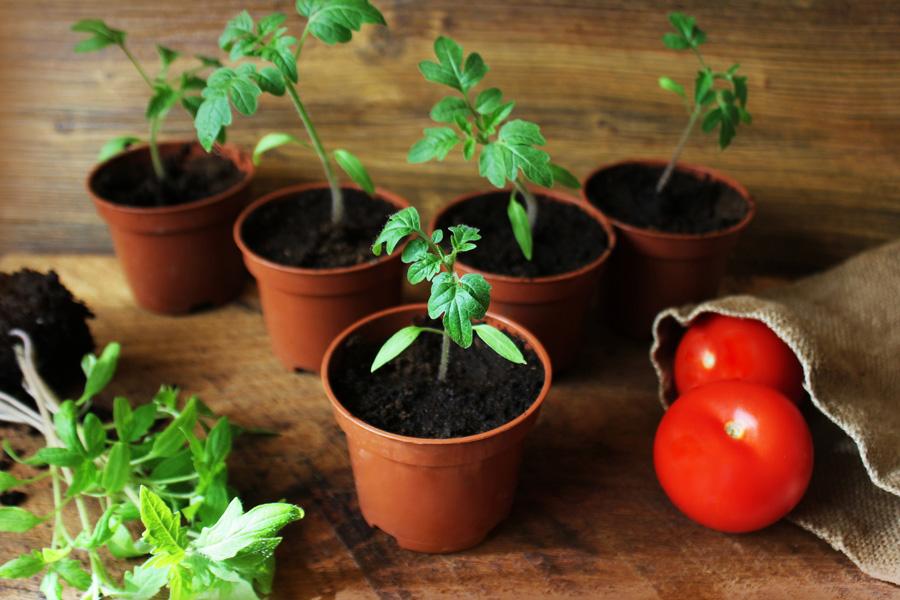 как садить семена мяты в домашних условиях