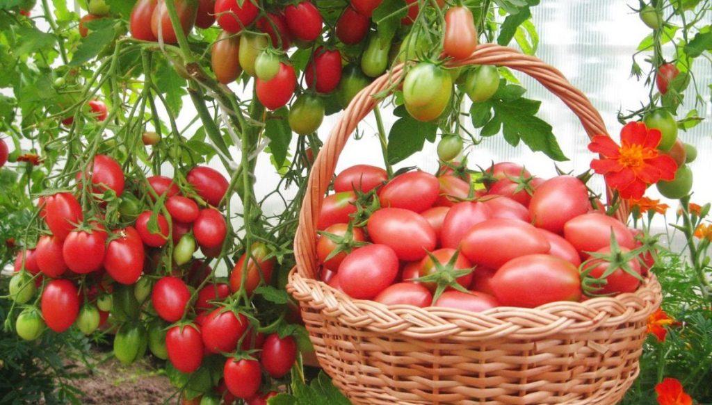 Когда сажать рассаду помидор в 2019 году