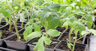 Выращивание рассады помидор в домашних условиях пошагово с фото