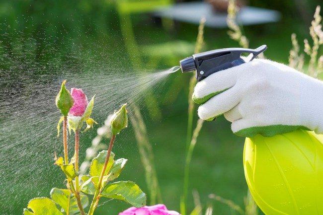 Чем обработать розы весной после открытия