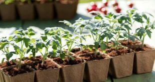 Пересадка рассады помидор в апреле благоприятные дни