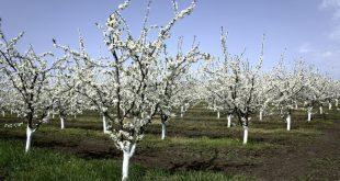 Побелка деревьев весной известью