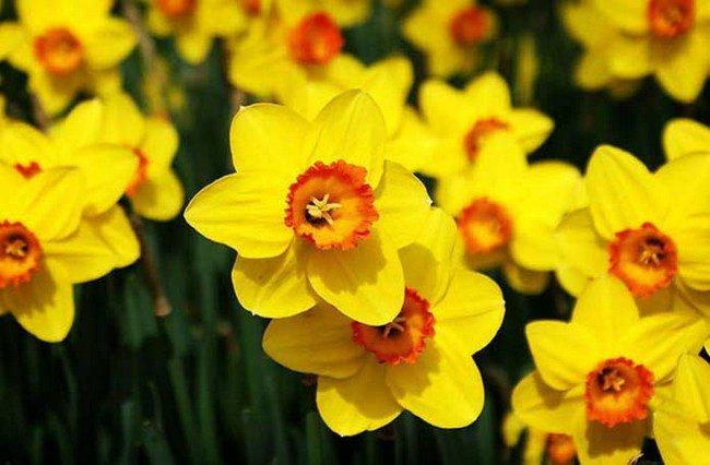 Посадка нарциссов весной когда и как посадить