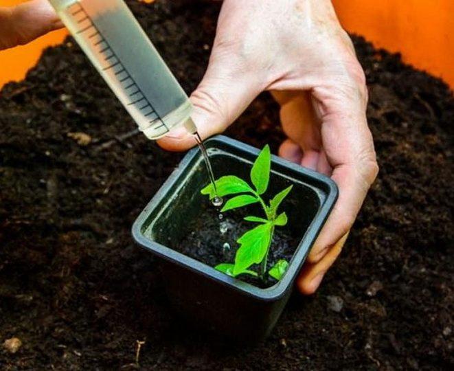 Чем полить рассаду помидор чтобы росли крепкими в домашних условиях