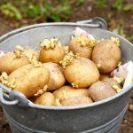 Чем обрабатывать картофель перед посадкой от болезней
