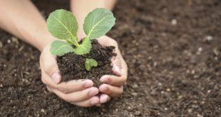 Когда сажать рассаду капусты по лунному календарю