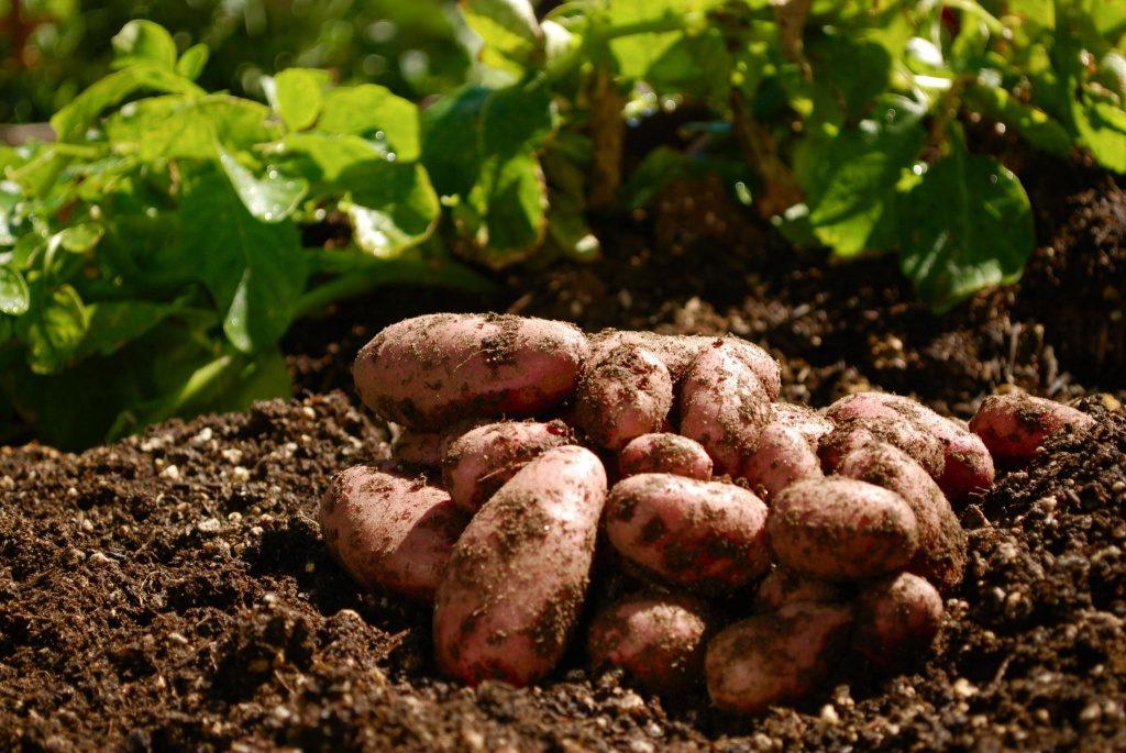 Посадка картофеля в мае 2019 благоприятные дни