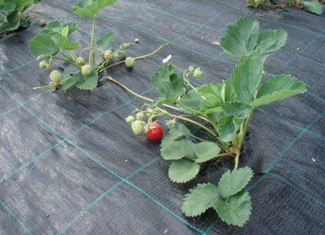 Как посадить клубнику на черный укрывной материалКак посадить клубнику на черный укрывной материал