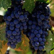Чем обработать виноград осенью перед укрытием