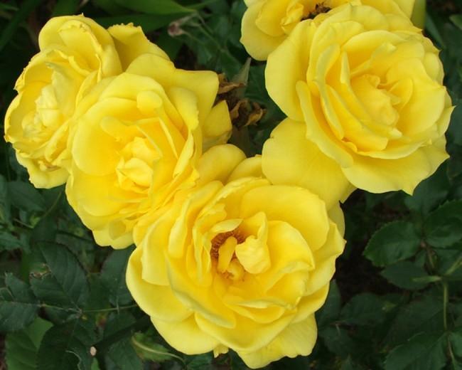 Роза флорибунда сорта с фото и названиями