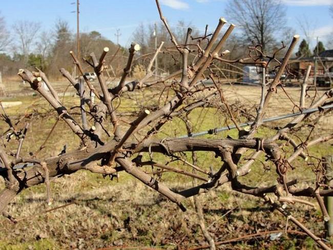 Укрытие винограда на зиму в подмосковье видео