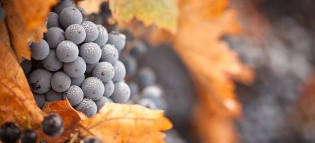 Укрытие винограда осенью видео для начинающих