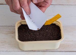Анютины глазки: выращивание из семян, когда сажать?