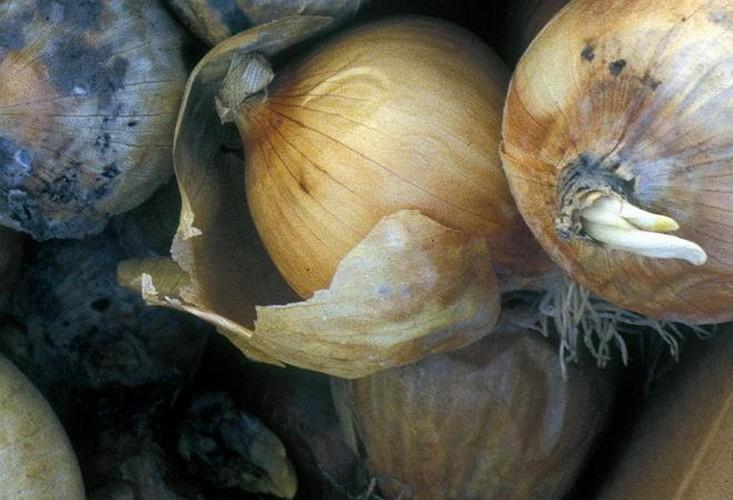Почему гниет лук при хранении и что делать?