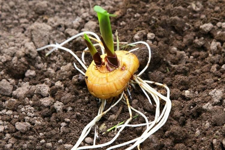 Выращивание гладиолусов в открытом грунте