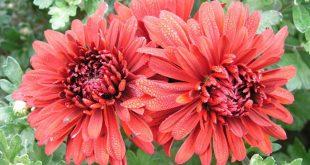Пересадка хризантем осенью на другое место