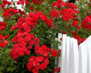 Роза плетистая: посадка и уход в открытом грунте фото
