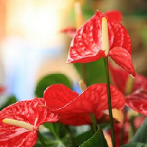 Мужской цветок антуриум: как ухаживать?