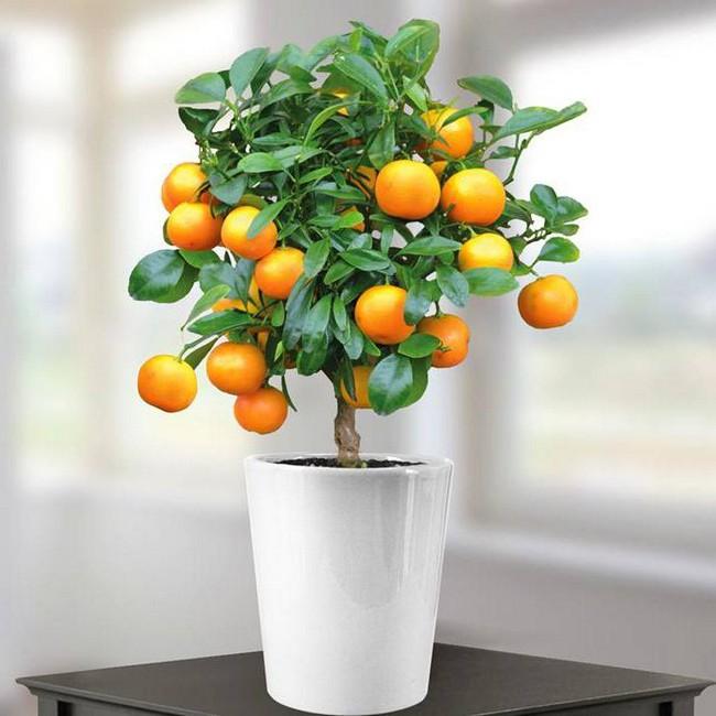 Как вырасти апельсин в домашних условиях