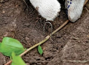 Рябина черноплодная: посадка и уход