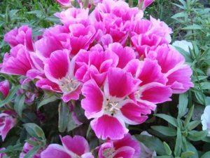 Годеция: фото цветов, рассада: когда сажать?