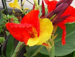 Канна цветок: уход в домашних условиях, фото