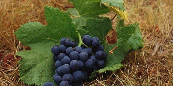 Обработка винограда осенью от болезней и вредителей
