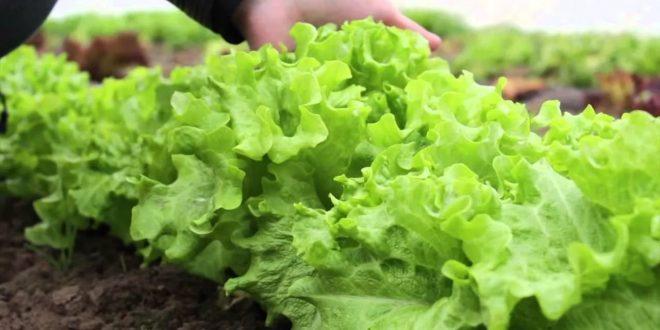 Как вырастить ранний салат в теплице