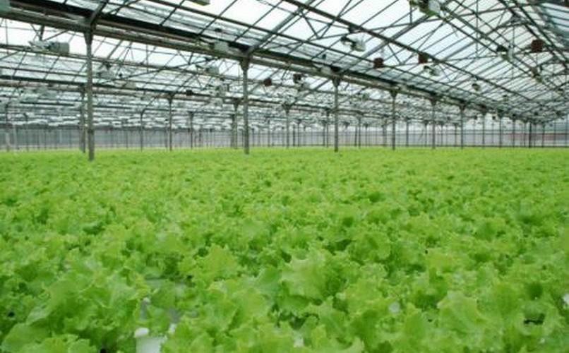 Выращивание салата зимой в теплице