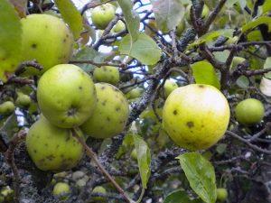 Обработка яблонь от парши осенью
