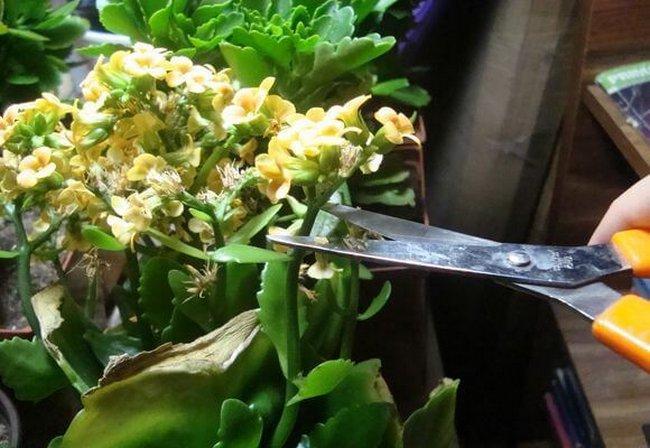 Как обрезать каланхоэ после цветения