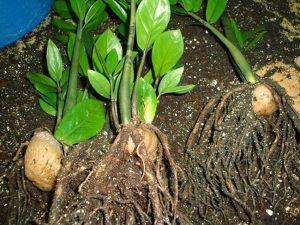 Размножение замиокулькаса листом в домашних условиях