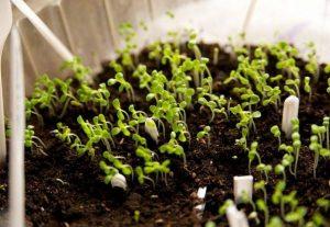 Астра: посев семян на рассаду