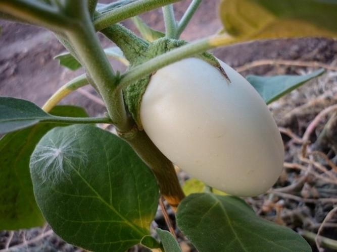 Белый баклажан сорт