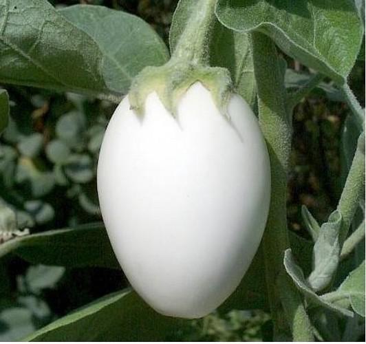 Семена баклажана Лебединый. Купить семена баклажана Лебединый в интернет-магазине с доставкой по всей России, а также в Беларусь и Казахстан.