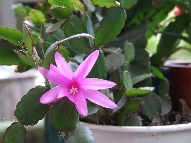 Декабрист цветок: уход в домашних условиях + приметы