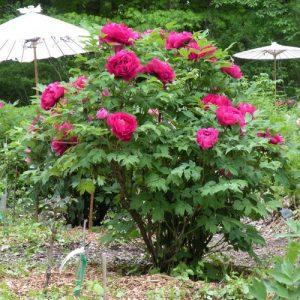 Древовидный пион: уход и выращивание