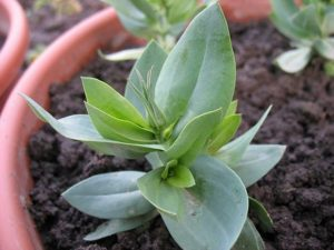 Эустома: посев семян на рассаду